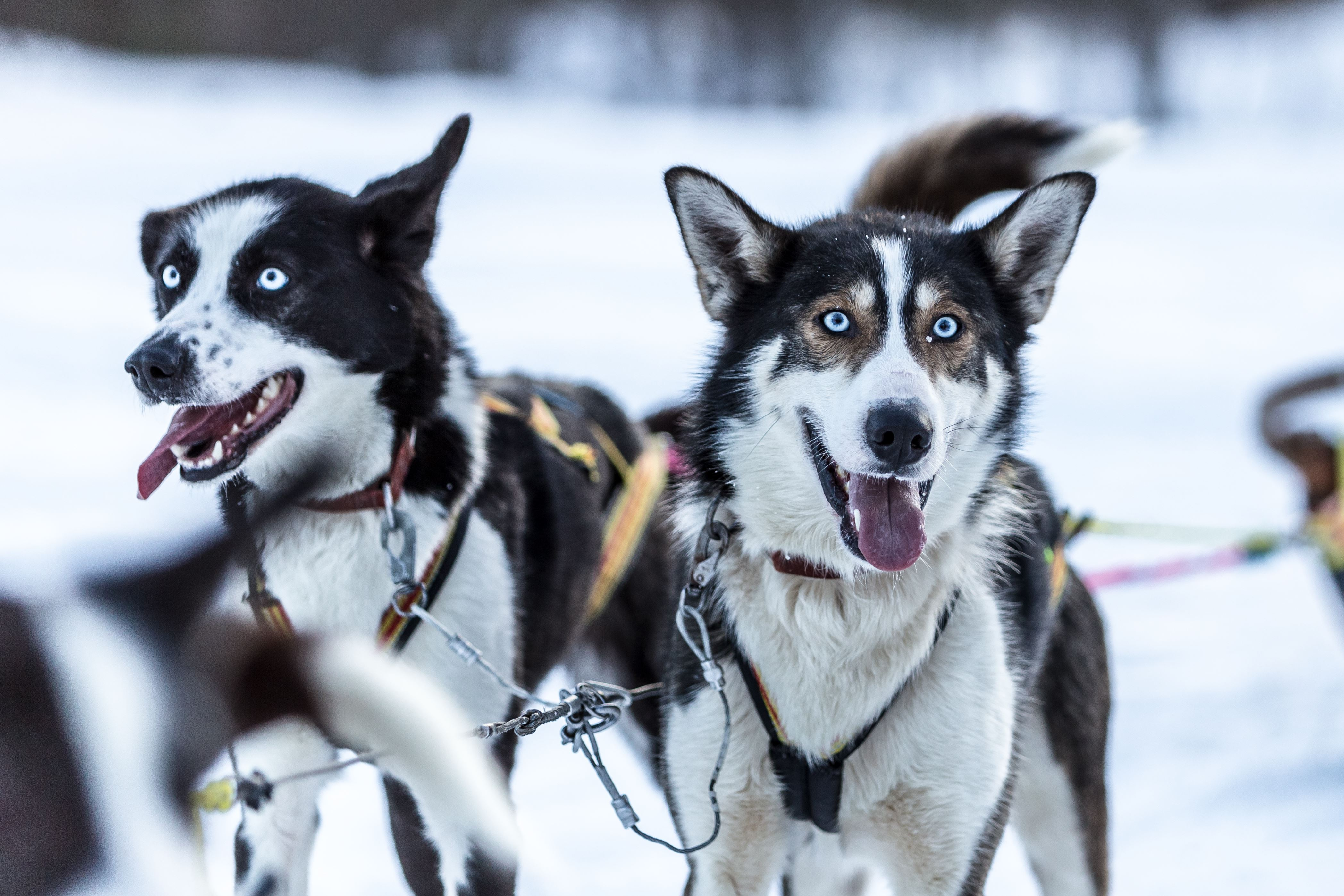 Hundeslede gjennom den hvite stillheten – Malangen Resort