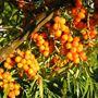 Havtorn, odling och självplockning, Harmånger,  © Havtorn, odling och självplockning, Harmånger, Havtorn, odling och självplockning, Harmånger
