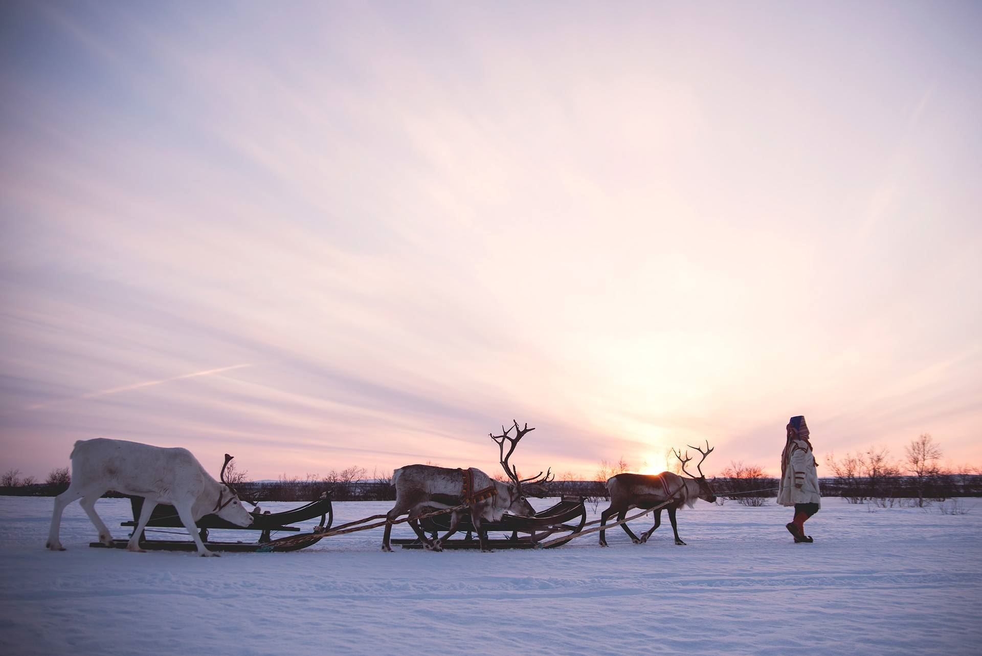 Reindeer Sledding in SamiCamp