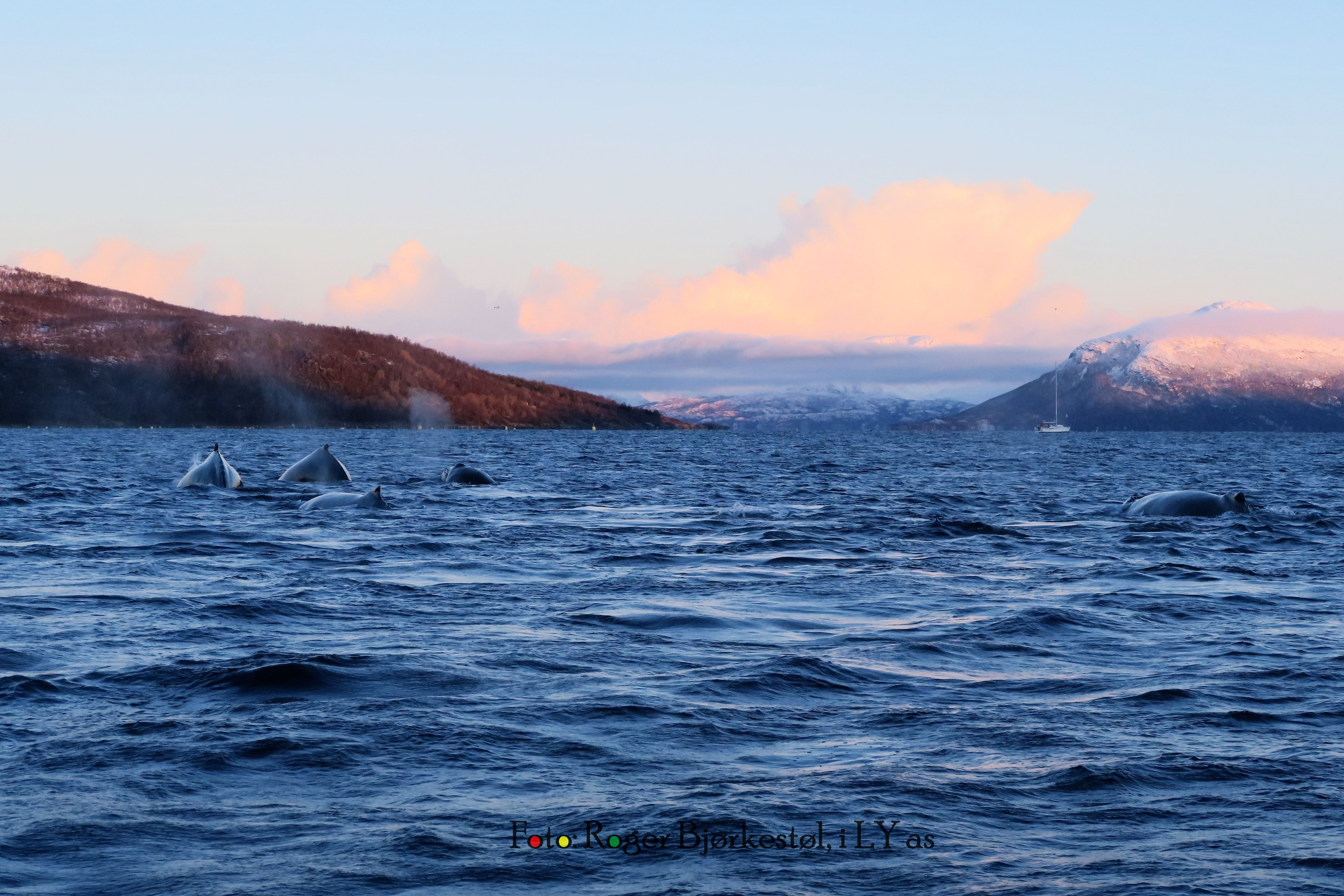 Autumn Whale and Arctic Panorama Lights