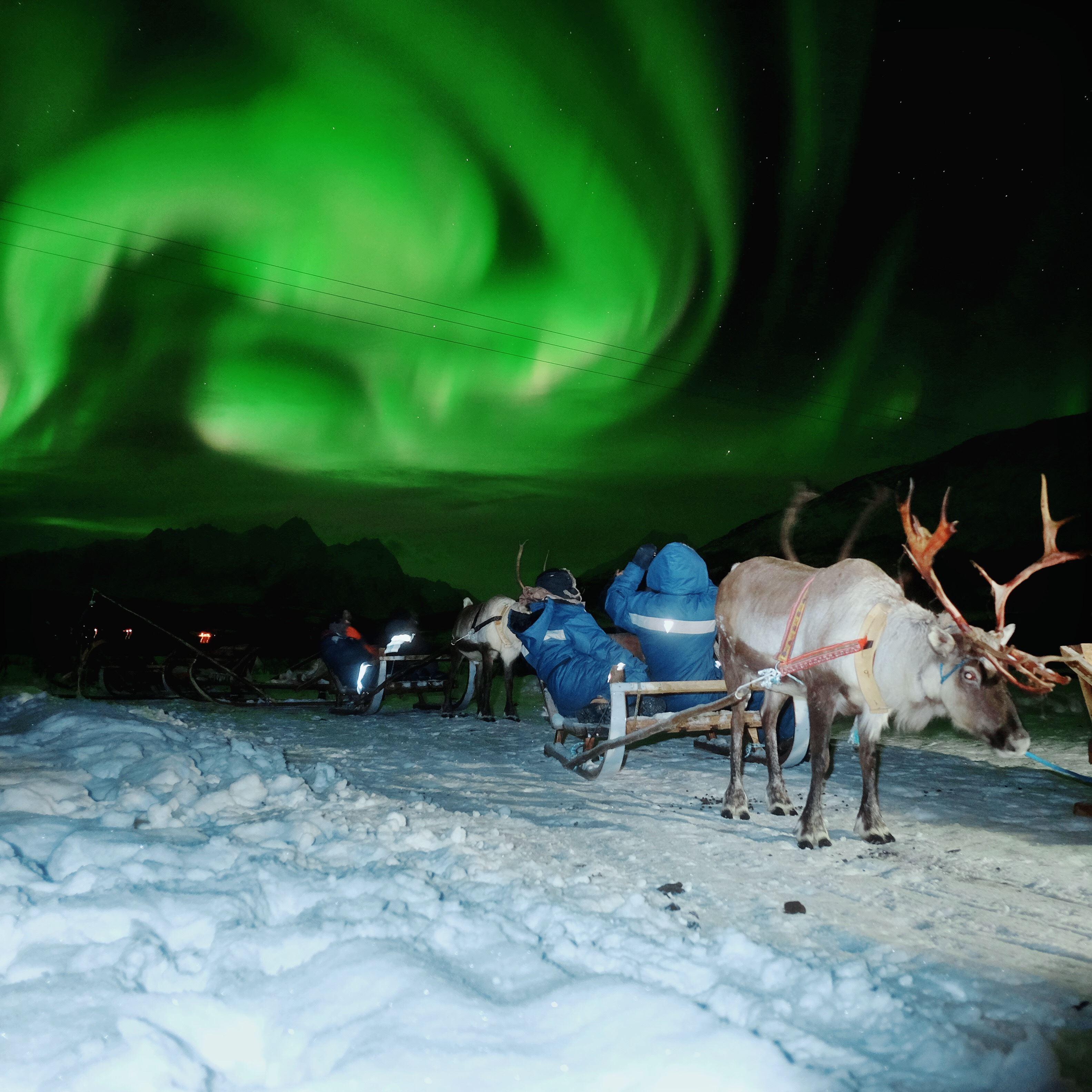 Reinsledekjøring og Nordlys - Tromsø Lapland