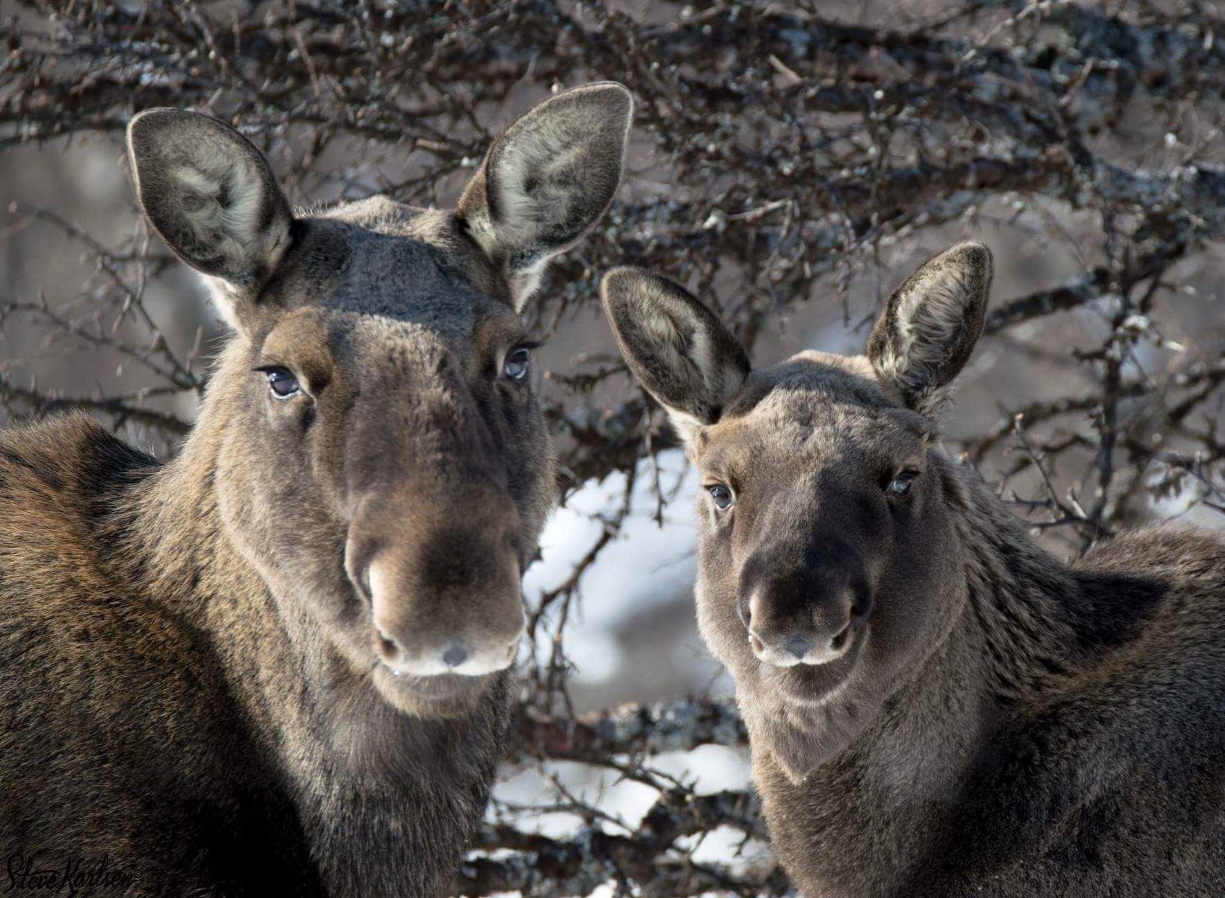 Wild moose safari - Destination Snowman