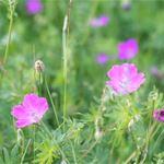 De vilda blommornas dag - Bergsjö