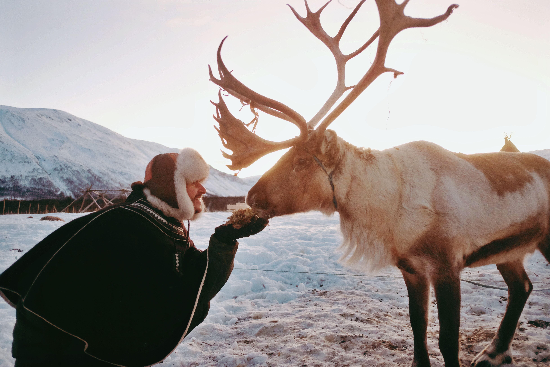 Sami Experience with Feeding Reindeer - small groups - Tromsø Lapland