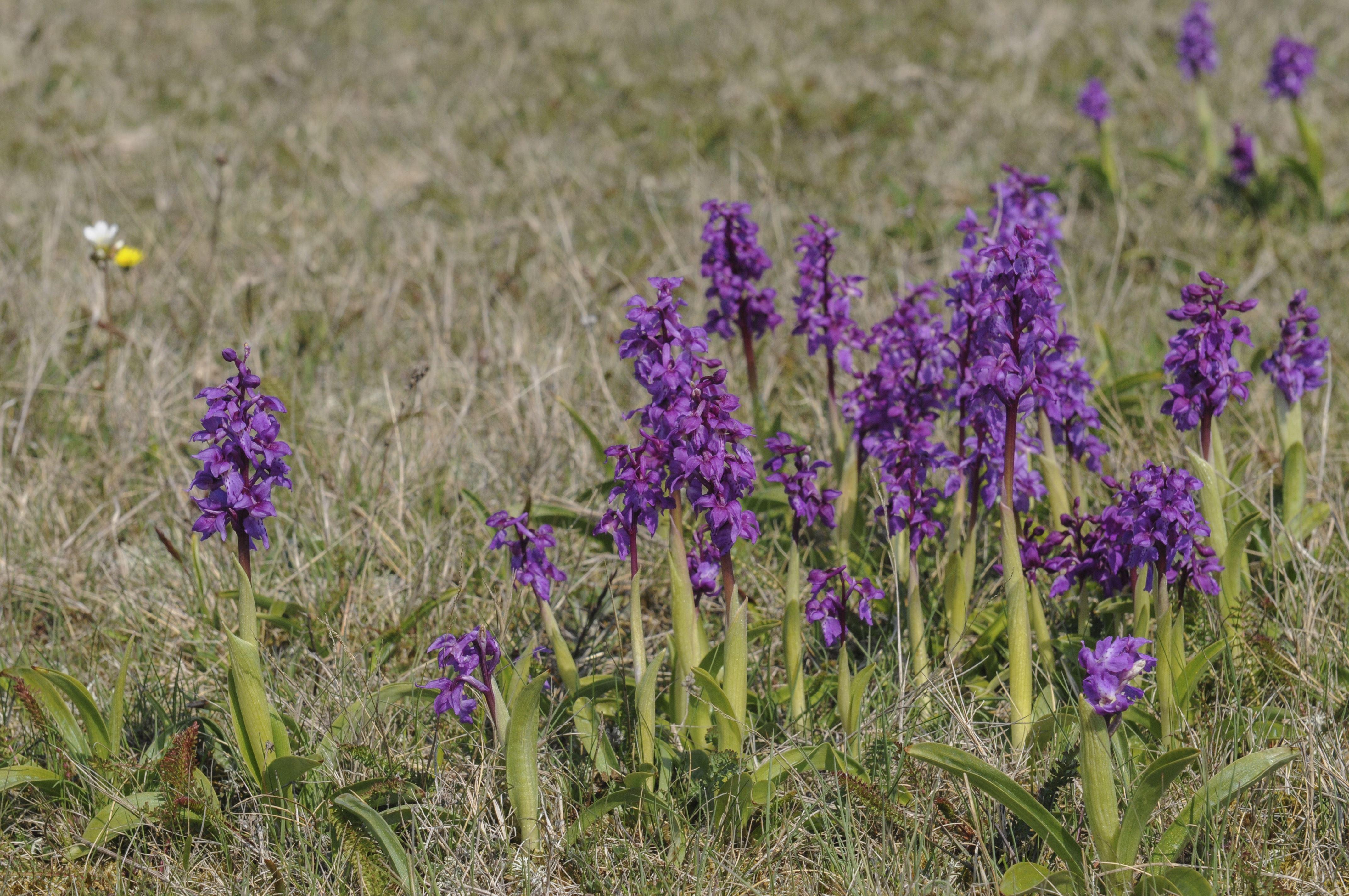 Orkidévandring