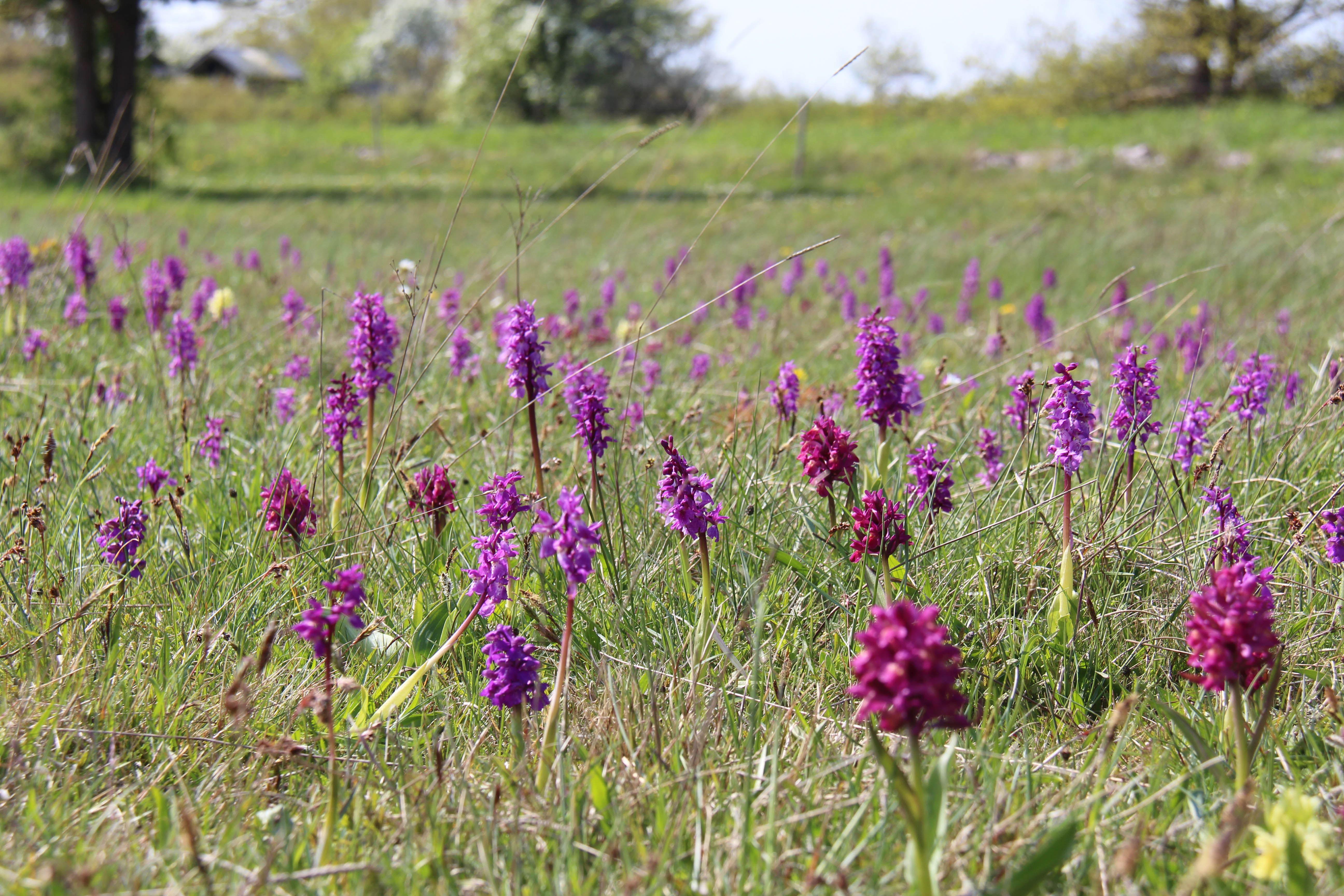 Orkidévandring Vickleby alvar