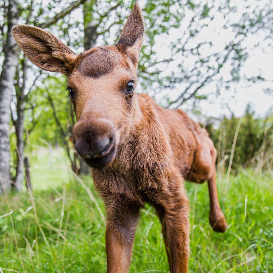 Foto: Moose Garden,  © Copy: Moose Garden, älg