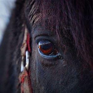 Turridning Åsens Islandshästar