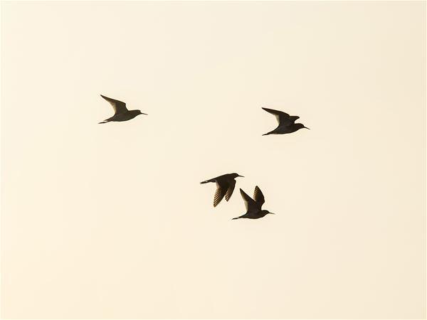 Framsteg i flyttfågelforskningen