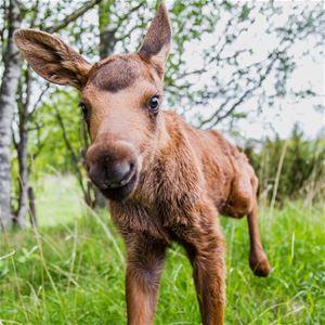 © Copy: Moose Garden, Närbild älgkalv