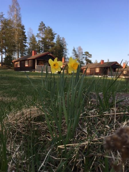 Påskliljor med stugbyn i bakgrunden.