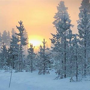 Vinterbild med snöiga träd och en sol i uppgång.
