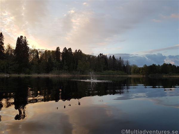 Madelen Zander,  © Multiadventures Sweden, Bäver som plaskar i vattnet