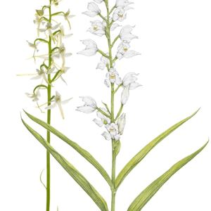 Galleri Tinnert Arontorp - Utställning Ölands orkidéer