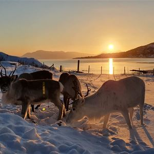 © Senja Fjordhotell, Reindeer in the snow, sun in the background