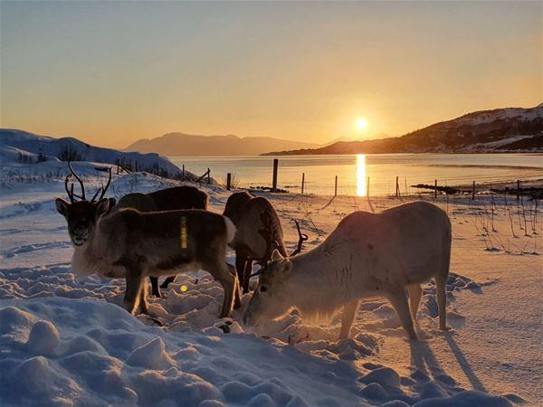 © Senja Fjordhotell, Reinsdyr i snøen, sol i bakgrunnen