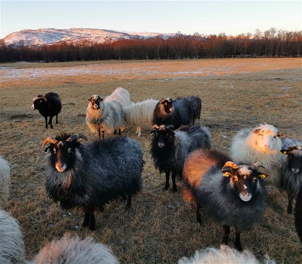 © Senja Moments, The sheep