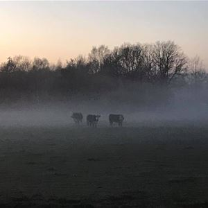Tre kor på fält i dis