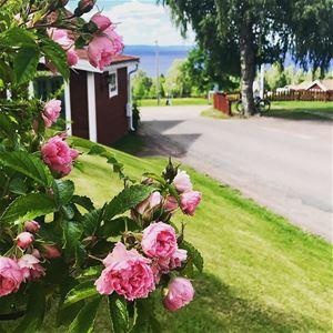 Rosenbuskar på hotellets mark.