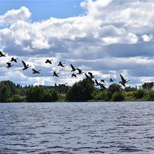 Fåglar som flyger ovanför sjön.