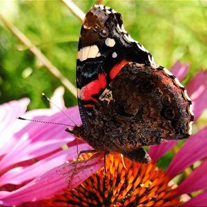 © Hanna Helin, En färgrik bild med en fjäril som vilar på en blomma.