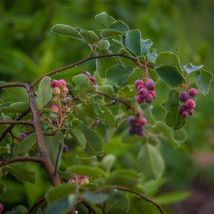 Detaljbild på grönskande buske med bär.