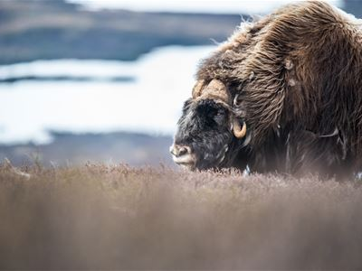 Muskox safari with accommodation in Oppdal