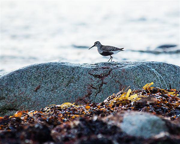 Skådarskolan: strandens fåglar