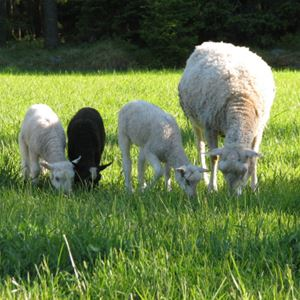 Guidad tur på Marskogens lamm i Svartsmara
