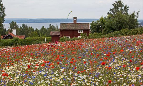 Utsikt över en blommande äng, en röd stuga och sjön Siljan.