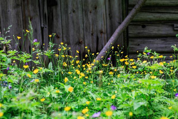 Smörblommor och ängsklockor framför en ladugårdsvägg.