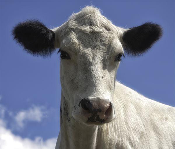 © Copy: Destination Östersund, Närbild på en vit ko där man ser huvudet framifrån